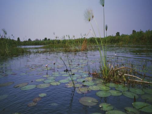 Okavanga floddelta med åkander